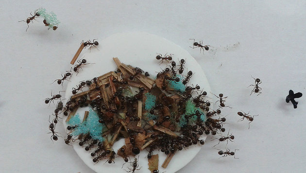 Ameisen nutzen Schwämme zum Honigtransport (Bild: J. Coelho (CC-BY))