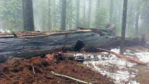 Kalifornien: Unwetter fällt 1000 Jahre alten Baum (Bild: Associated Press/Jim Allday)