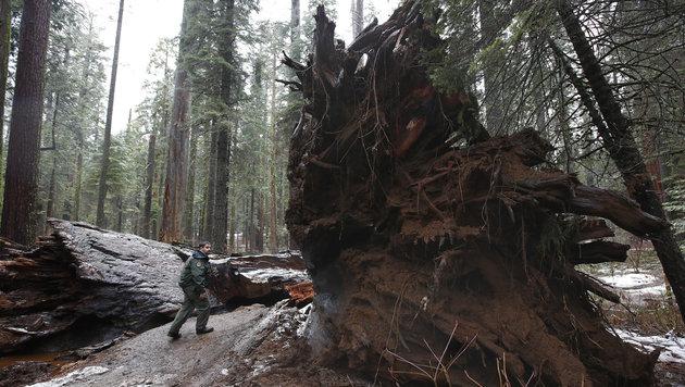 Kalifornien: Unwetter fällt 1000 Jahre alten Baum (Bild: Associated Press/Rich Pedroncelli)