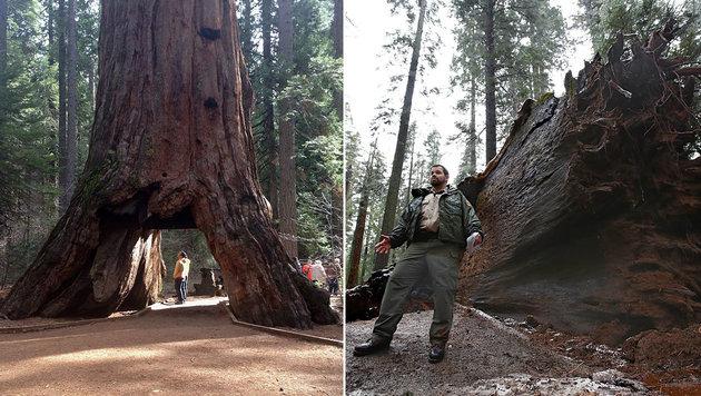 Kalifornien: Unwetter fällt 1000 Jahre alten Baum (Bild: California State Parks, Associated Press)
