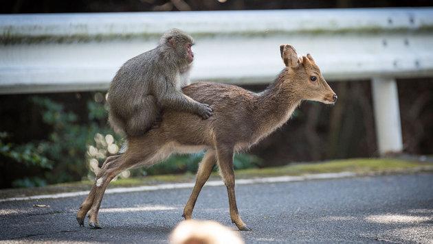 Japan: Affe bei Sex mit kleiner Hirschkuh gefilmt (Bild: AFP)