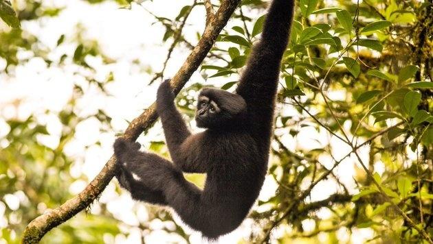 Ein männlicher Skywalker-Gibbon (Bild: Fan Pengfei)