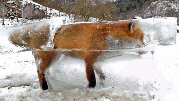 Dieser Fuchs wurde zum riesigen Eisklotz. (Bild: Twitter.com/Schwäbische Zeitung)