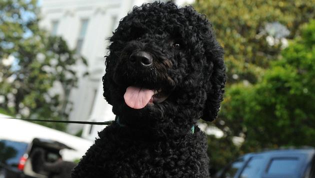 "Obamas Hund ""Sunny"" (Bild: APA/AFP/POOL/LESLIE KOSSOFF)"