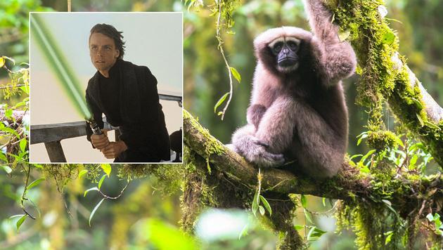 """""""Star Wars""""-Affe schwingt sich durch Chinas Wälder (Bild: Fan Pengfei, Disney)"""