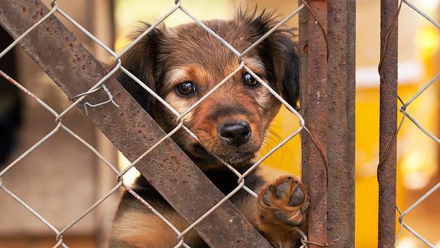 Straßenhunden von Kiew droht ein Massaker (Bild: Thinkstockphotos.de)
