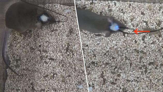 Maus mutiert auf Knopfdruck zur Killermaschine (Bild: Yale University School of Medicine/Ivan de Araujo)