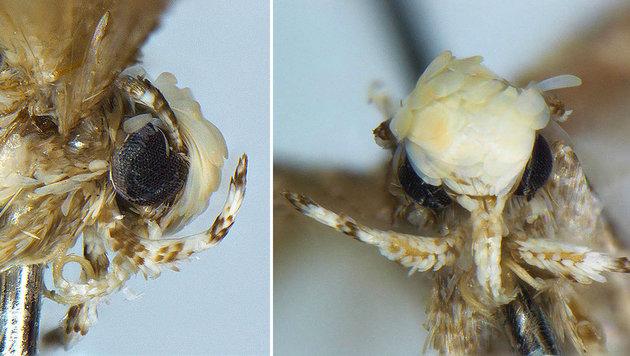 Der Kopf der neu entdeckten Mottenart Neopalpa donaldtrumpi (Bild: Dr. Vazrick Nazari (CC-BY 4.0))