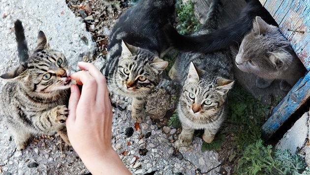 """Lavanttaler Tierhilfe"" kümmert sich um 140 Katzen (Bild: thinkstockphotos.de)"
