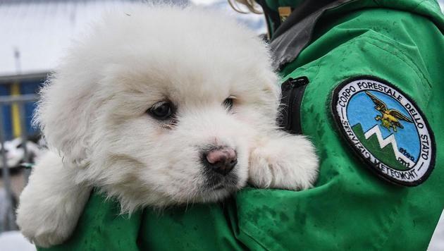Hundebabys fünf Tage nach Lawine gerettet (Bild: AP)