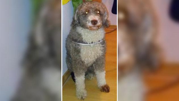 Deutscher gab seinen Hund als Schaf aus (Bild: Polizei Rostock)