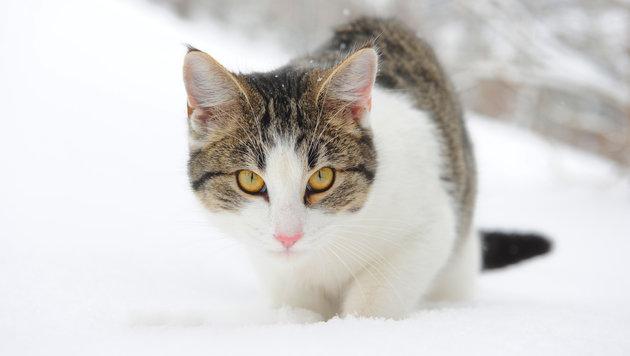 Starke Vermehrung hat eine erhöhte Zahl von Streunerkatzen zur Folge, diese Tiere sind oft krank. (Bild: Gabriele Moser)