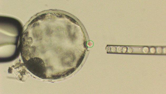 Menschliche Stammzellen werden in die Blastozyste eines Schweins injiziert. (Bild: Salk Institute)