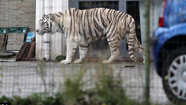 Weißer Tiger sorgte bei Palermo für Panik