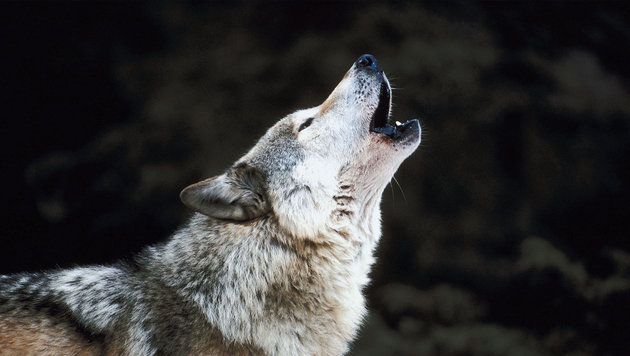 Wölfe eingeschläfert: Neues Rudel ab Herbst (Bild: thinkstockphotos.de)