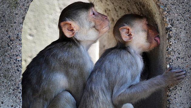 Rhesusaffen beim Entspannen (Bild: AFP)