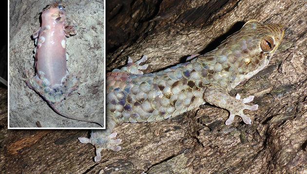 Gecko-Art streift bei Angriff komplette Haut ab (Bild: Frank Glaw)