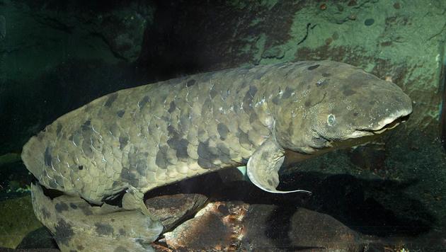 Weltweit ältester Aquarienfisch gestorben (Bild: Shedd Aquarium/Brenna Hernandez)