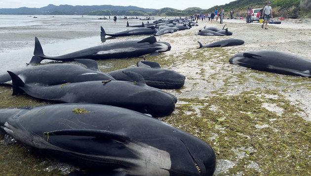416 Grindwale an Küste Neuseelands gestrandet (Bild: AFP/New Zealand Department of Conservation)
