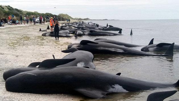 416 Grindwale an Küste Neuseelands gestrandet (Bild: AP/New Zealand Herald)