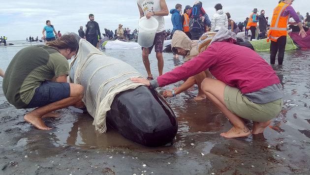 Tote Wale wegen Explosionsgefahr abtransportiert (Bild: AFP/Radio New Zealand/Tracy Neal)