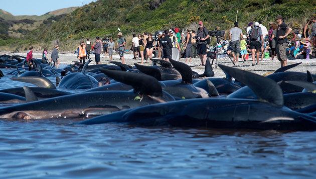 Tote Wale wegen Explosionsgefahr abtransportiert (Bild: AFP)