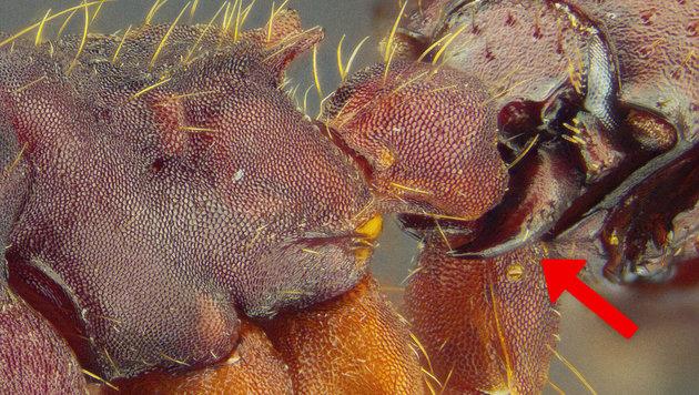 Mit  sichelförmigen Mundwerkzeugen (Pfeil) hält sich der Käfer an der Ameise fest. (Bild: TU Darmstadt/M. Maruyama)