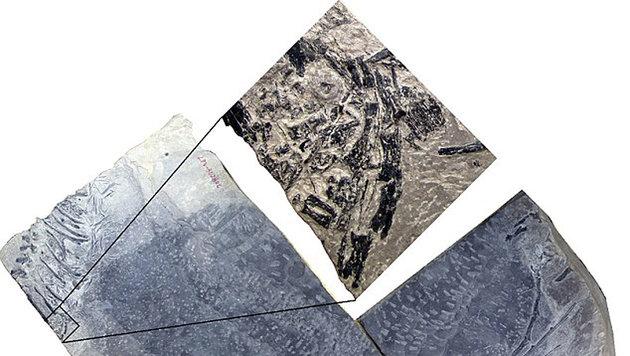Die versteinerten Überreste des Dinocephalosaurus-Embyos (Bild: Hefei University of Technology)