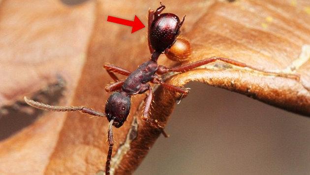 Käferart tarnt sich als Hinterteil von Ameisen (Bild: TU Darmstadt/M. Maruyama)