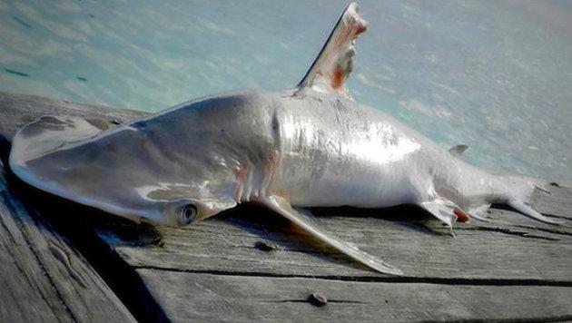 Ein Exemplar der neu entdeckten Hammerhai-Art (Bild: WWF/Katie Flowers)