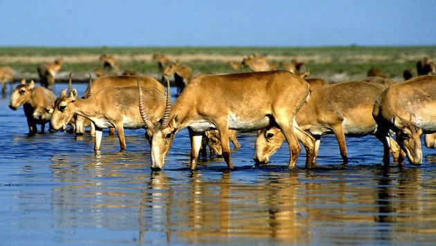 Mongolei: Virus tötet Tausende Saiga-Antilopen (Bild: AFP/Anatoly Ustinenko)