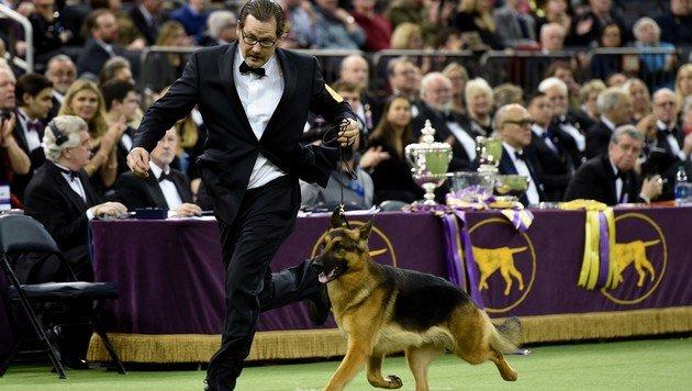 Schäferhund gewann bei Westminster-Hundeshow (Bild: Timothy A. Clary/AFP)