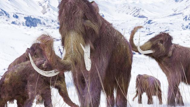 US-Forscher wollen Wollmammut zum Leben erwecken (Bild: thinkstockphotos.de)