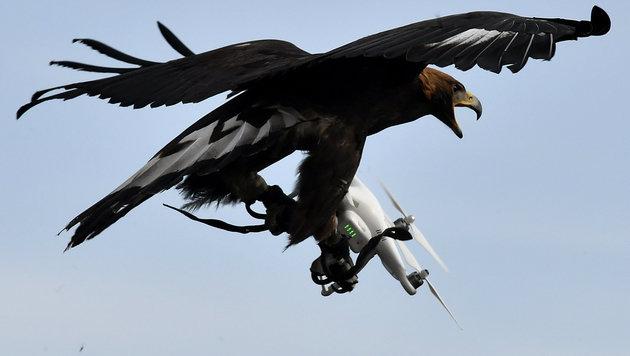 Adler: Gefiederte Räuber im Kampf gegen Drohnen (Bild: AFP)