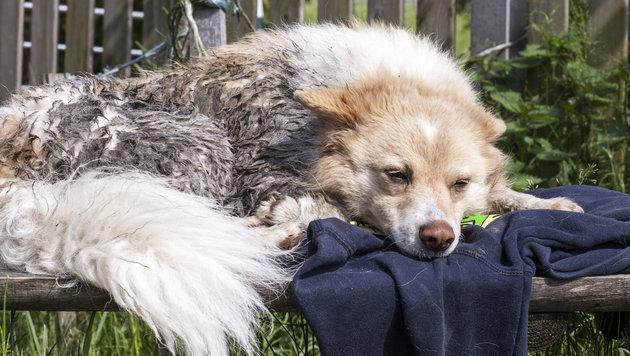 """Der fünf Jahre alte """"Timi"""" hatte bislang ganz wenig Glück in seinem Hundeleben. (Bild: PFOTENHILFE / Sonja Muellner)"""