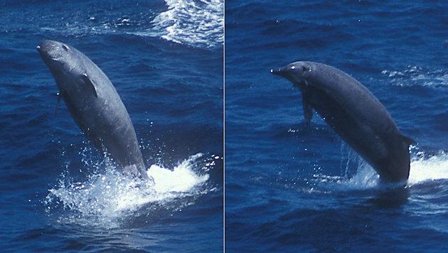 Forschern gelingen rare Aufnahmen von True-Walen (Bild: Dylan Walker (WCA))