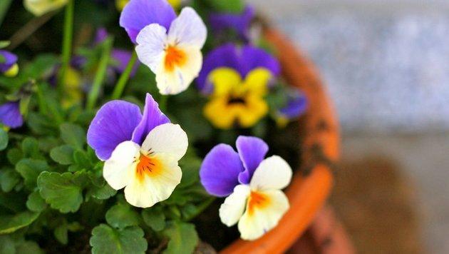 Ein Klassiker unter den Balkonpflanzen: Stiefmütterchen (Bild: flickr.com/pfau_910)