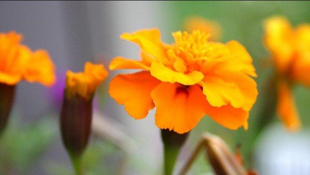 Die leuchtend orange Tagetes erfreut das Auge von Juni bis Oktober. (Bild: flickr.com/tillwe)