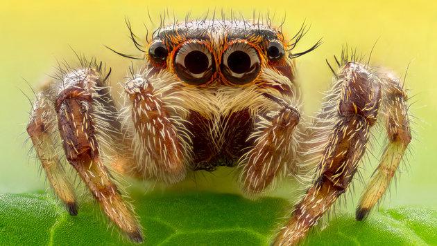 Spinnen fressen bis zu 800 Mio. Tonnen Beute/Jahr (Bild: thinkstockphotos.de)