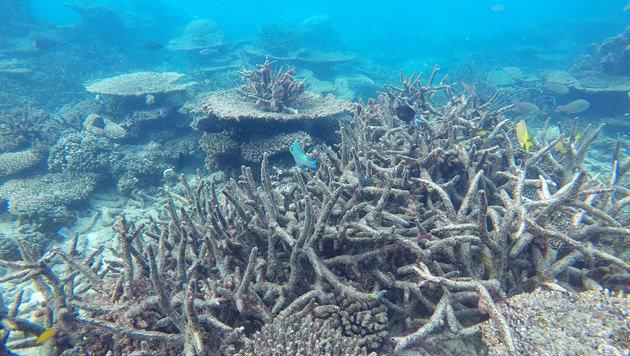Forscher finden Klimawandel-resistente Korallen (Bild: ARC Center of Excellence/Greg Torda)