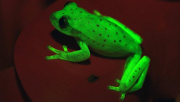 Hypsiboas punctatus: Der Frosch, der im Dunkeln leuchtet. (Bild: Julian Faivovich & Carlos Taboada, MACN-CONICET)