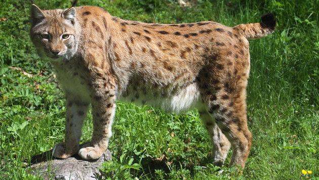 Das Luchsprojekt im Nationalpark Kalkalpen wurde durch wildernde Jäger gefährdet (Bild: Marion Hšrmandinger)