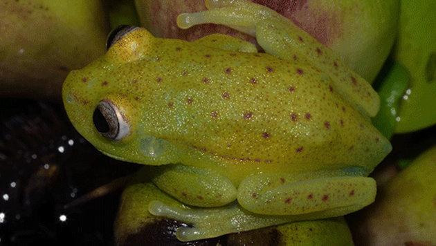 Forscher entdecken fluoreszierenden Frosch (Bild: Julian Faivovich & Carlos Taboada, MACN-CONICET)