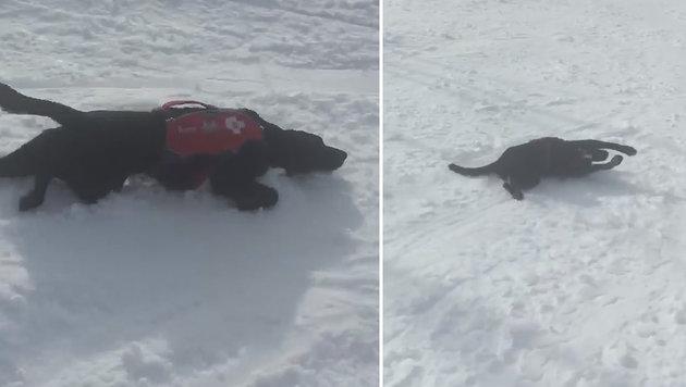 """""""Truckee"""", der wildeste Pistenhund der USA! (Bild: facebook.com)"""