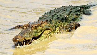 Fünf-Meter-Krokodil tötet Fußballer beim Training! (Bild: AFP)