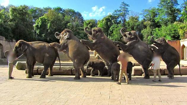 Zoo Hannover quält Jungelefanten für Shows (Bild: YouTube.com/PeTA)