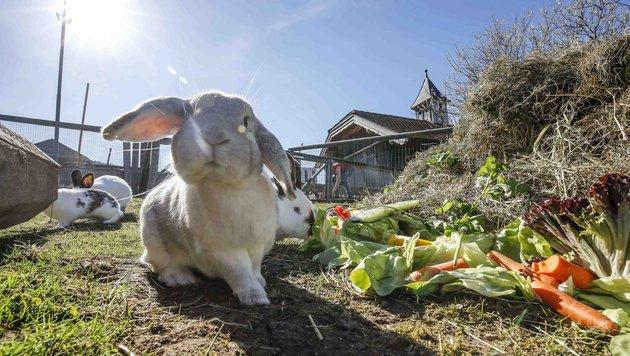 Süße Hasen werden gern zu Ostern verschenkt, doch das ist meist ein Fehler. (Bild: MARKUS TSCHEPP)