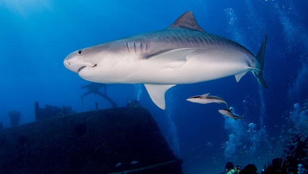 Österreicher bei Haiattacke in Südafrika getötet (Bild: thinkstockphotos.de (Symbolbild))