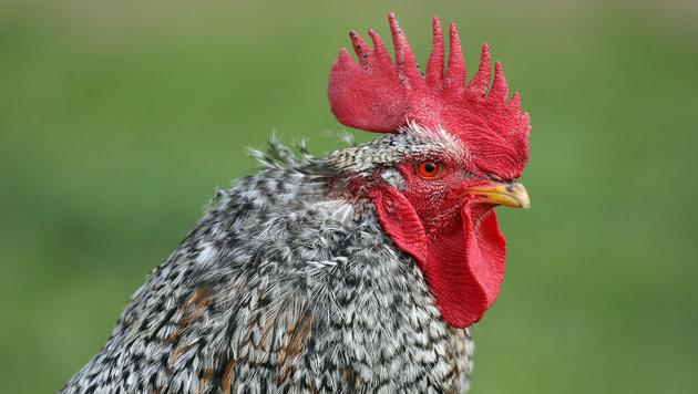 Dieser Hahn durfte leben (Bild: gewefoto - Gerhard Wenzel)