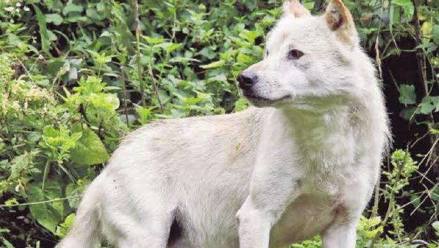 Die letzten Wölfe im Zoo mussten eingeschläfert werden. Die Suche nach einem Paar läuft. (Bild: Markus Tschepp)